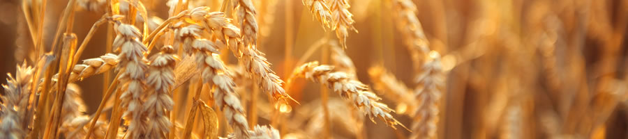 About Page - Image of golden wheat
